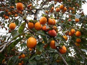 「カキ・柿」、1