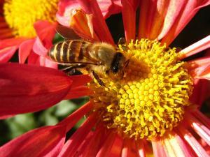 「スプレーギク」と「西洋ミツバチ」、2