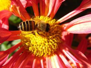 「スプレーギク」と「西洋ミツバチ」、3