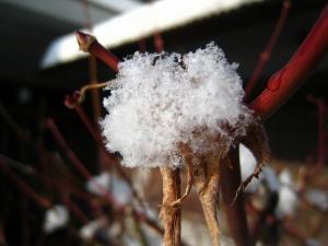 2010.1.15.「庭の紅葉に残る雪」、2