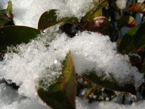 2010.1.15.「庭の榊に残る雪」、2