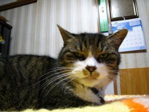 豊田さんちの猫「ドルちゃん」、お隣の猫ですがいつの間にか、1