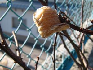 「蟷螂・カマキリの卵」、2