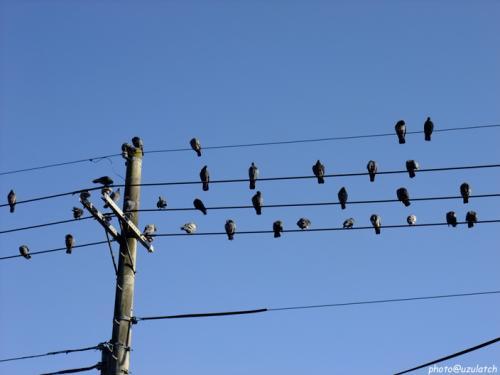 電線の鳩01
