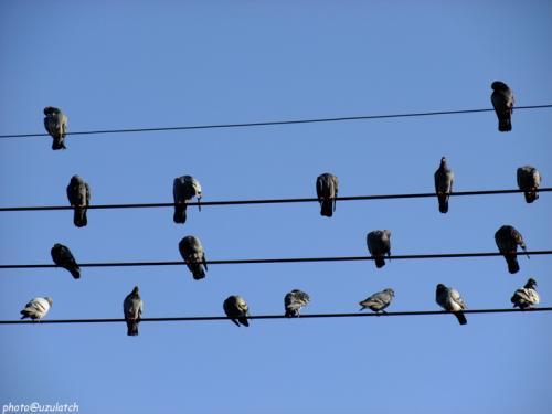 電線の鳩02