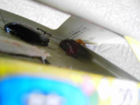 ゴキブリ取れてる