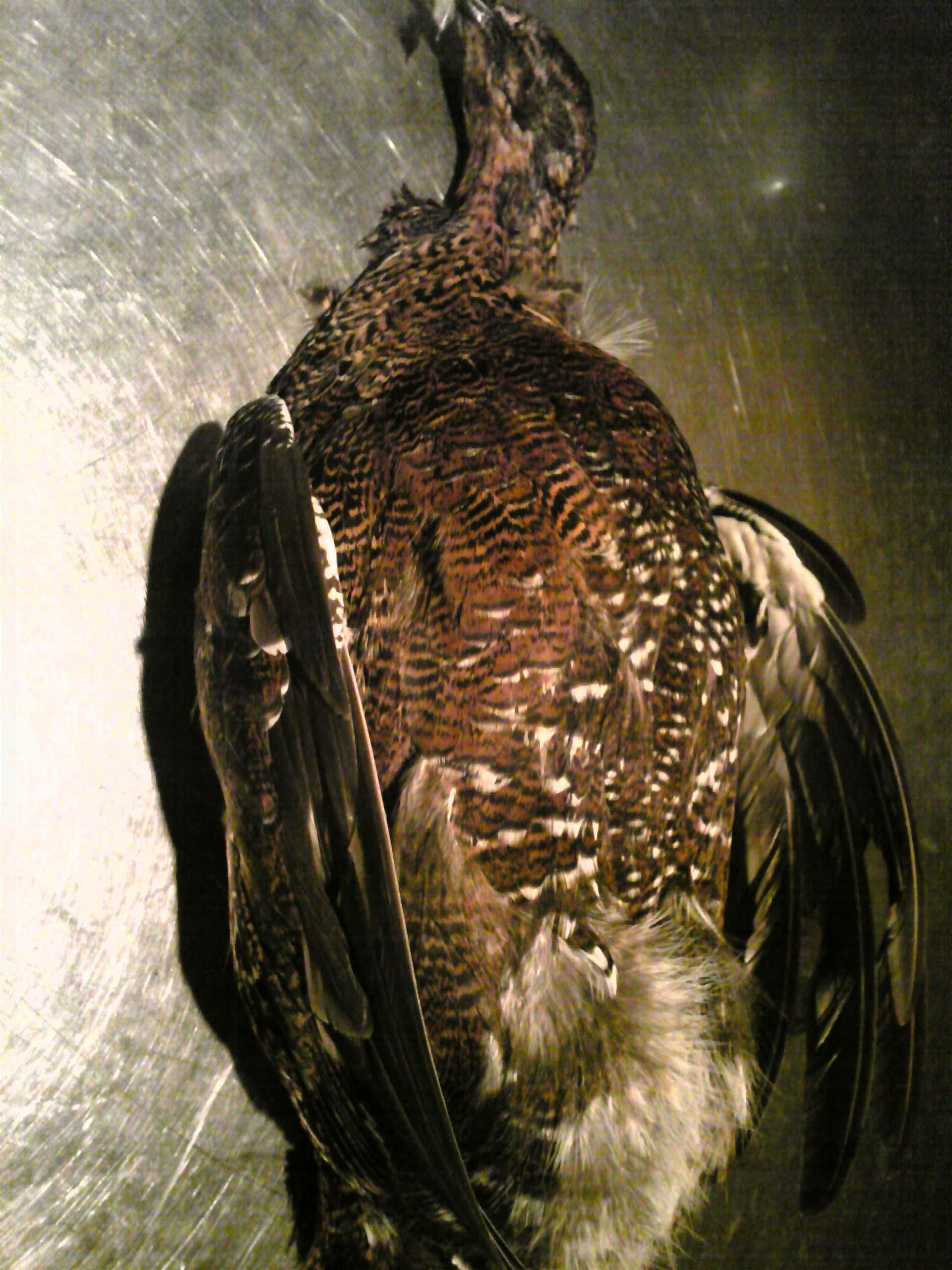 grouse.jpg