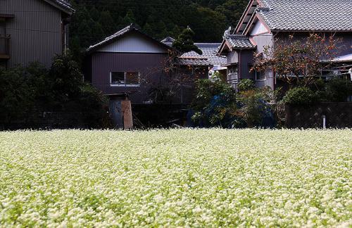 岡部の蕎麦畑01