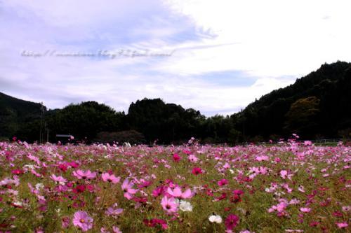 岡部のコスモス畑