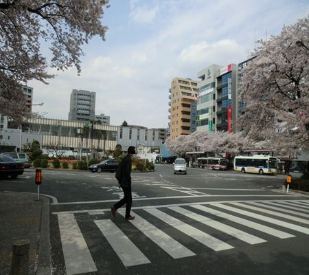 kunitachi sakura city 20110411 01_R
