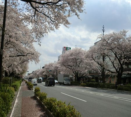 kunitachi sakura city 20110411 02_R