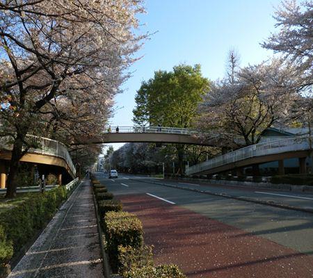 kunitachi sakura city 20110414 02_R