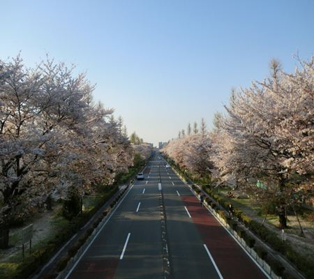 kunitachi sakura city 20110414 03_R