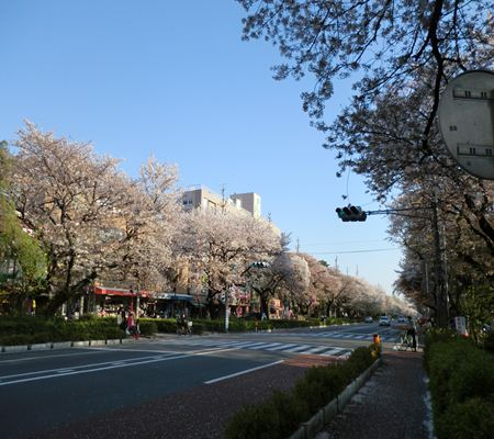 kunitachi sakura city 20110414 01_R