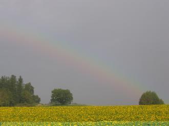 ひまわり虹