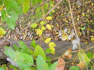 桑の木の下の袋詰め放置ウンP