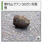 東村山でフンコロガシを発見