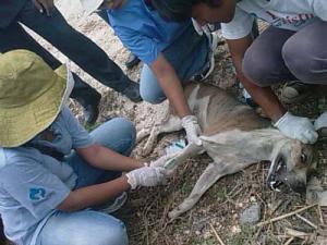インドネシアの狂犬病にかかった犬