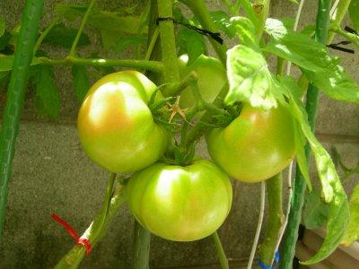 トマト出来てるやん。