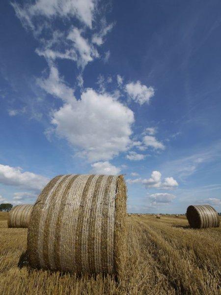 小麦畑 ?