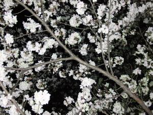 夜桜 007