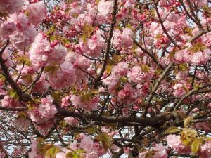 八重桜 006