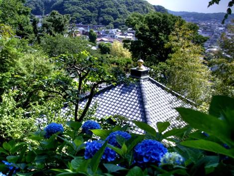 長谷寺のアジサイ11
