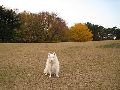 芝も茶色になりました。