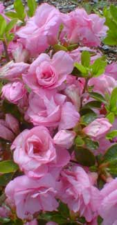az-rosebud-may.jpg