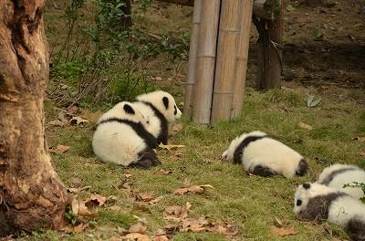 157赤ちゃんパンダが追いかけっこ。159
