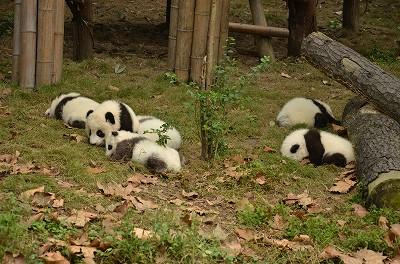 150赤ちゃんパンダ!めちゃめちゃ可愛かった!