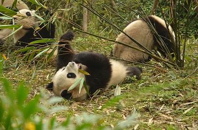 1364頭ものパンダが食事中だった。
