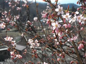 花見山 開花情報 4月13日 031
