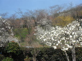 花見山 開花情報 4月13日 045