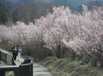 今日の花見山 4月18日 015