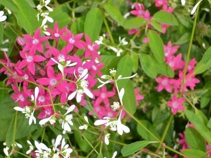 *白とピンクと彩りよく咲いているよ*