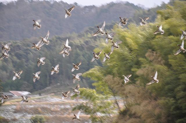 2010元旦無農薬栽培の田んぼにきたコガモ