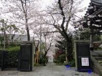 参道を彩る桜のトンネル
