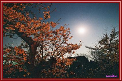 川沿いの古桜