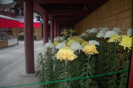稲荷神社の菊