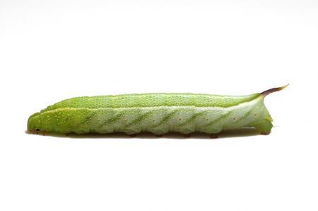 ホシホウジャク幼虫緑タイプ1