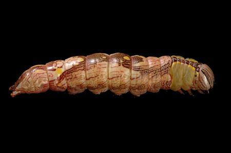 ホソバシャチホコ幼虫1
