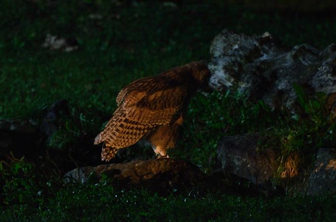 シマフクロウにライト