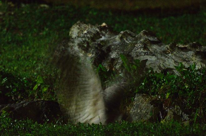 シマフクロウの狩り