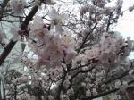 2008.3.24桜