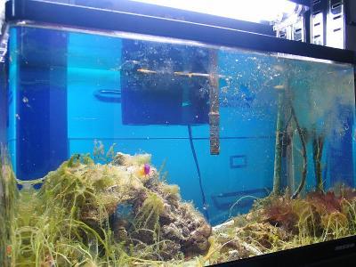 60cm海藻水槽