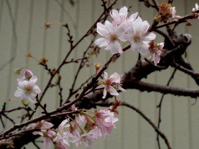 桜が咲いてます(^^)