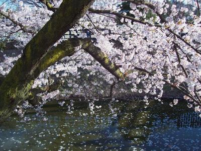 松本城桜02