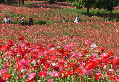 昭和記念公園-ポピー2