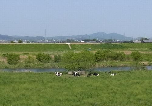 遊水地-牛